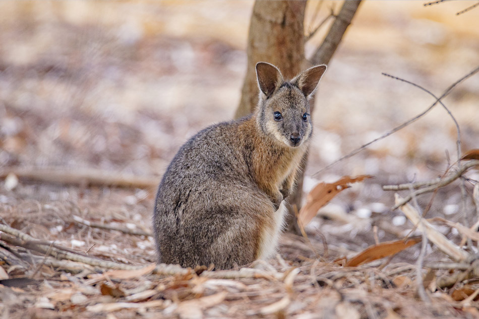 Wallaby Flinders